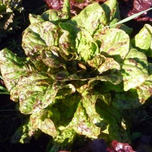 Freckles Selection Lettuce Seed