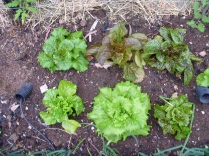 Lettuce Seed Vegetable Seed