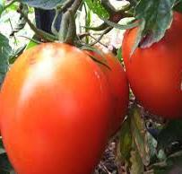 Scatalone Tomato Seed