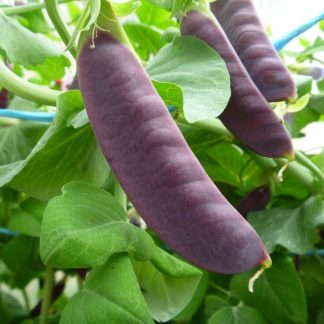 Purple Snow Pea Seed